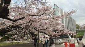 Sakura di Tokyo Institute of Technology